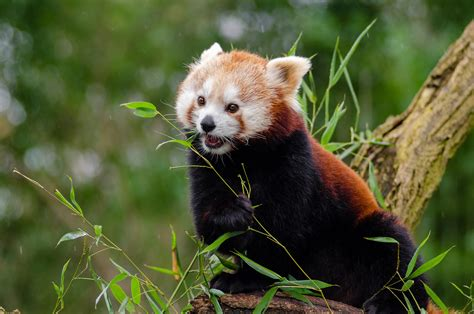 Small red panda on the tree on a blurred background free image
