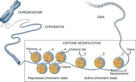 Diagram Of Chromatin by Chromatin Structure And Histone Modifications Dna Is