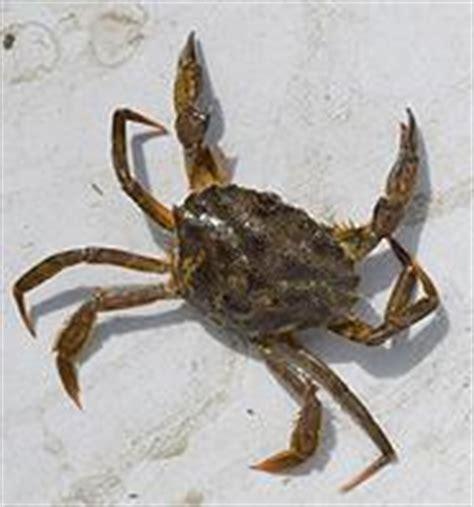 european green crab invasive species maine department