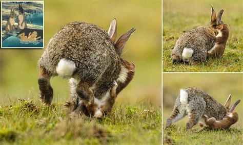 stoat takes   devours  rabbit  west sussex