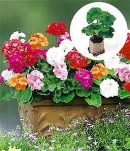 Portulak Pflanzen Kaufen : sommerblumen jungpflanzen online kaufen bestellen bei ~ Michelbontemps.com Haus und Dekorationen