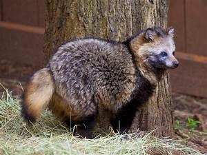 Raccoon Dog - True Wildlife Creatures