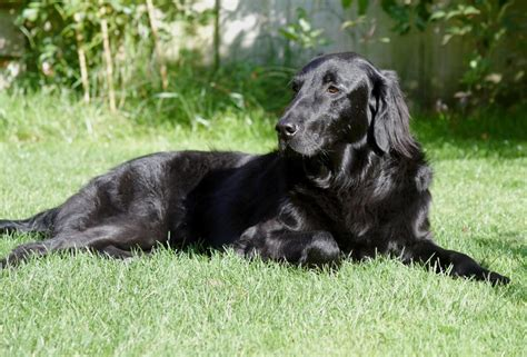 flat coated retriever history personality appearance