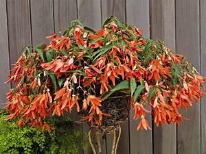 Begonia Boliviensis  San Francisco