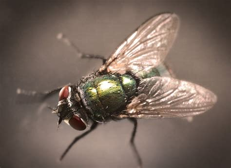 how does a house fly live lifespan of a fly the span and cycle of common