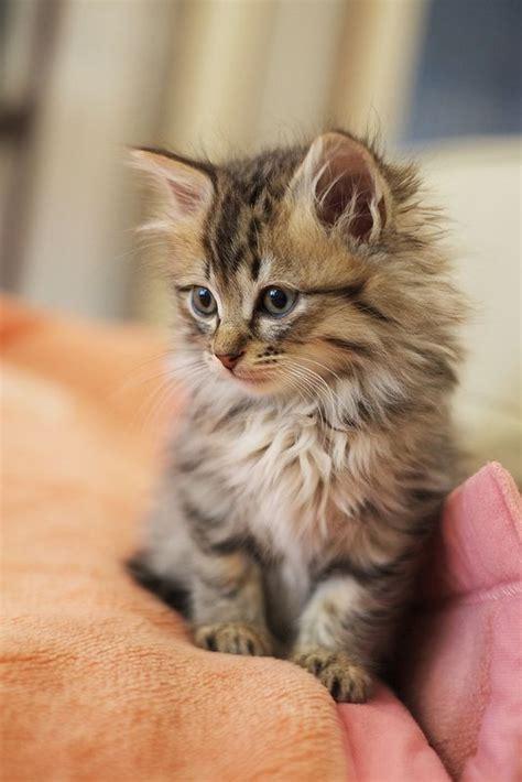 friendliest cat breeds   world cat breeds