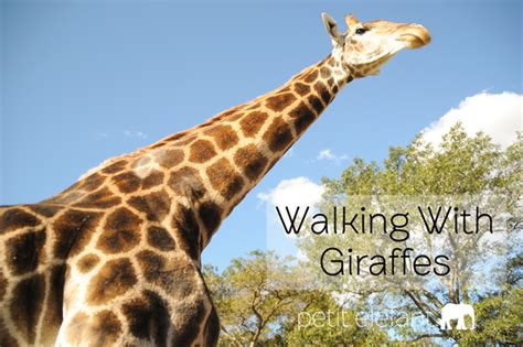 Walking With Giraffes