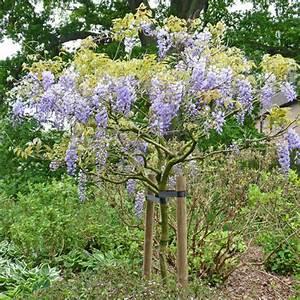 Blauregen Im Kübel : chinesischen blauregen wisteria sinensis pflanzen schneiden und pflegen mein sch ner garten ~ Frokenaadalensverden.com Haus und Dekorationen