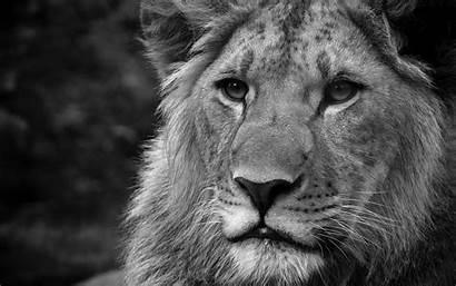 Lion Lions Desktop Wallpapers Roaring Background 1080p