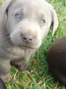 Yellow Lab Puppies with Blue Eyes