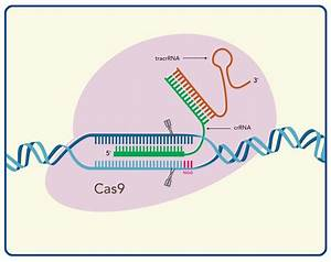 Crispr Genome Editing  5 Considerations For Target Site