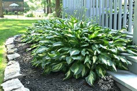 are hostas annuals or perennials 1000 images about perennials zone 5b on pinterest cabbages shrubs and ranunculus