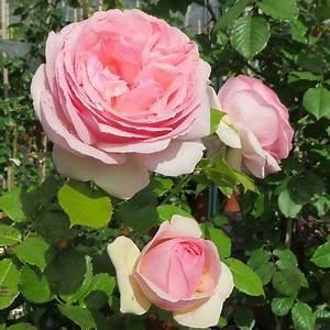 Rosier Grimpant Remontant : rosier grimpant pierre de ronsard meivolin ou eden rose ~ Melissatoandfro.com Idées de Décoration