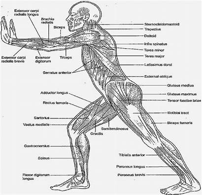 Anatomy Coloring Physiology Human Muscles Muscle Diagram