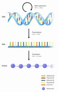 What Is The  U0026 39 Central Dogma U0026 39