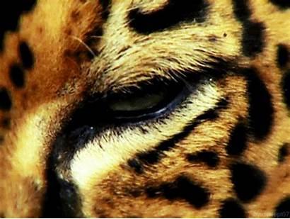 Nature Wildlife Eyes Leopard Cat Gifs Animals