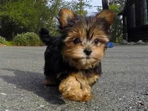 Image Gallery morkie puppies adoption