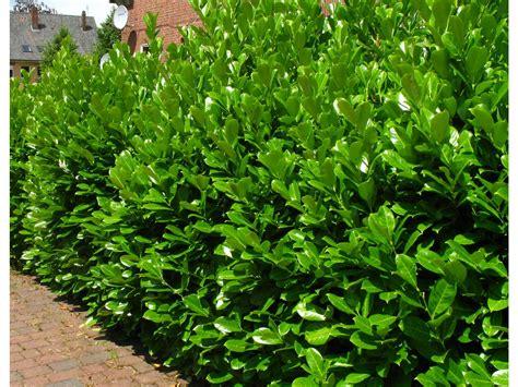 Pflanzzeit Kirschlorbeer Hecke by Kirschlorbeerhecke Novita 174 5 Pflanzen Lidl Deutschland