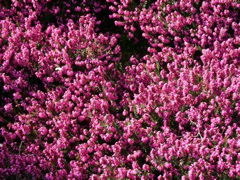 erika winterhart kaufen winterbl 252 hende heide kramer s rote erica x darleyensis