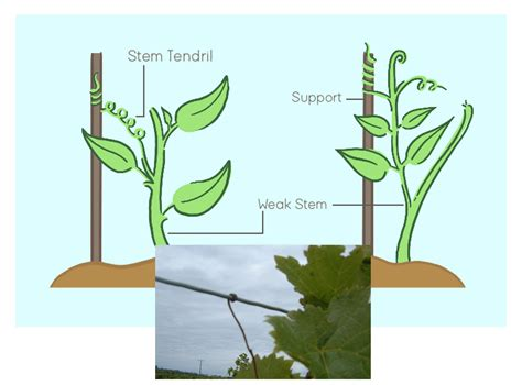 Thigmotropism in Plants: Definition, Example, Types, Stimuli, Hormone - You Ask We Answer