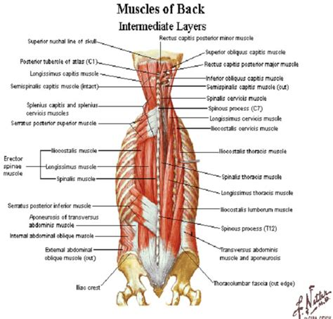 He is mobile, the upper back for the most component is not. back_muscles - Elliot's Site