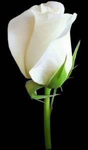 Langage Des Fleurs Pivoine : pingl par sur pinterest fleur jardin fleurs et rose ~ Melissatoandfro.com Idées de Décoration