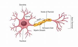 Ncert Solutions Class 11 Biology Chapter 21 Neural Control And Coordination
