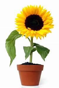 Pflanzenlexikon Mit Bild : sonnenblume auch f r den balkon geeignet balkon oasebalkon oase ~ Orissabook.com Haus und Dekorationen