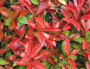Photinia Red Robin : photinia fraseri red robin 5l evergreens turn it ~ Michelbontemps.com Haus und Dekorationen