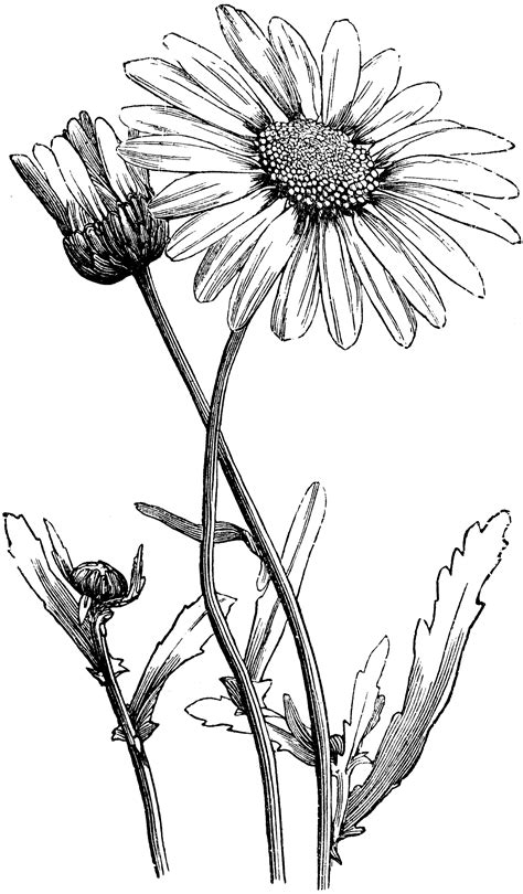 Oxeye Daisy | ClipArt ETC