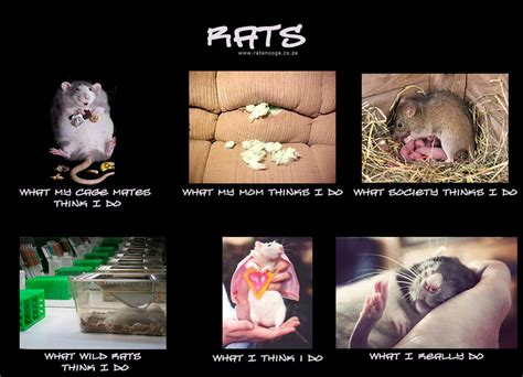 Rat Memes - world rat day sunshine scrapbook