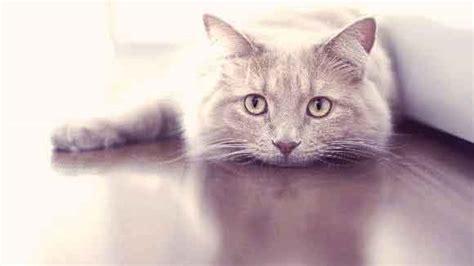 7 Common Reasons For Cat Puking Petcarerx