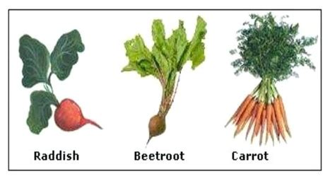 Names Of Modified Roots by Taproot Plant Haushofgarten Info