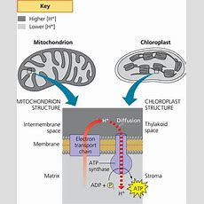 Comparison Of Chemiosmosis In Mitochondria And Chloroplasts  Biology Forums Gallery