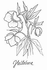 Hellebore Coloring Wordpress Drawing Flower Pages Garden Botanical sketch template
