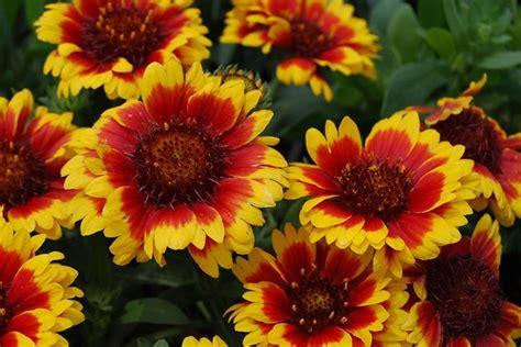 fiori da giardino perenni foto fiori da giardino perenni giardinaggio coltivare fiori
