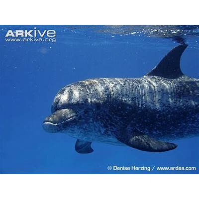 Atlantic spotted dolphin videos photos and facts