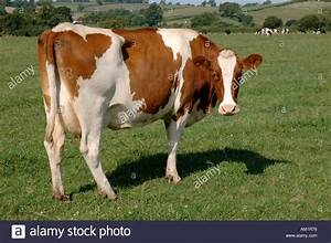 Red white Friesian dairy cow on summer grass Devon Stock ...