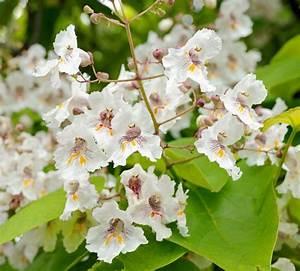 Baum Mit Blüten : trompetenbaum pflanzen pflegen und schneiden mein sch ner garten ~ Frokenaadalensverden.com Haus und Dekorationen