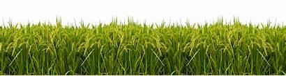 Rice Paddy Field Transparent Tree Tesco Lotus