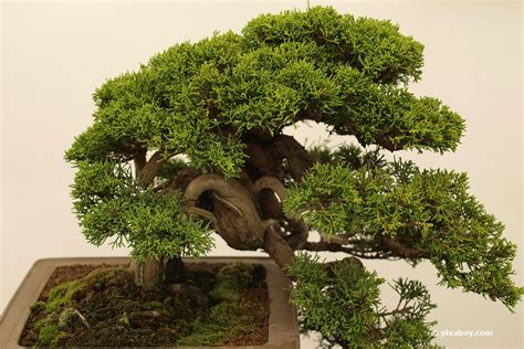 bonsai umtopfen anleitung bonsai schneiden mit 6 schnitten zur asiatischen gartenkunst