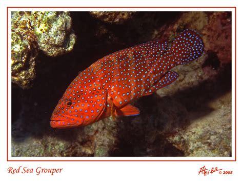 kerapu sea grouper merah ikan jenis bara laut treknature