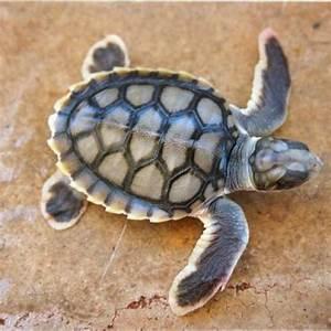 Flatback | Sea Turtle Exploration