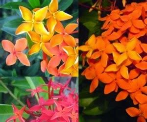 khasiat manfaat bunga asoka tanaman herbal