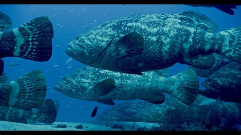 diving goliath groupers amazing