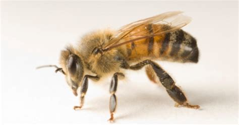mysterious zombie bee scourge reaches  state cbs news