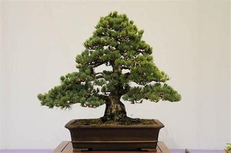 NakhonBonsai: ลักษณะต้นฉบับของไม้บอนไซ
