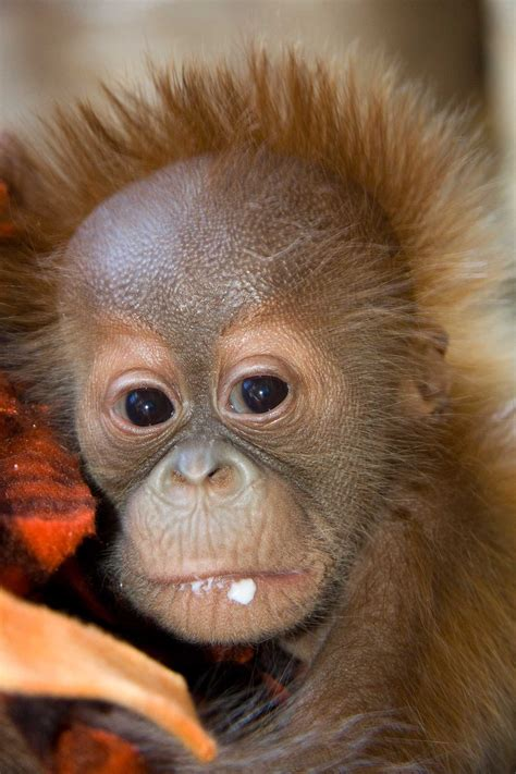 orangutan hesty baby denver zoo strength