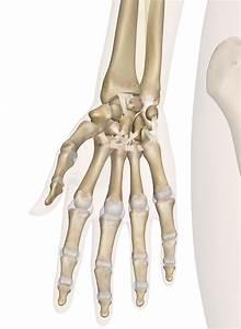 Diagram Of A Bone : hand and wrist anatomy pictures and information ~ A.2002-acura-tl-radio.info Haus und Dekorationen