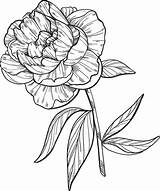 Peony Coloring Supercoloring Categories sketch template
